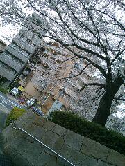 飛鳥山の桜 3